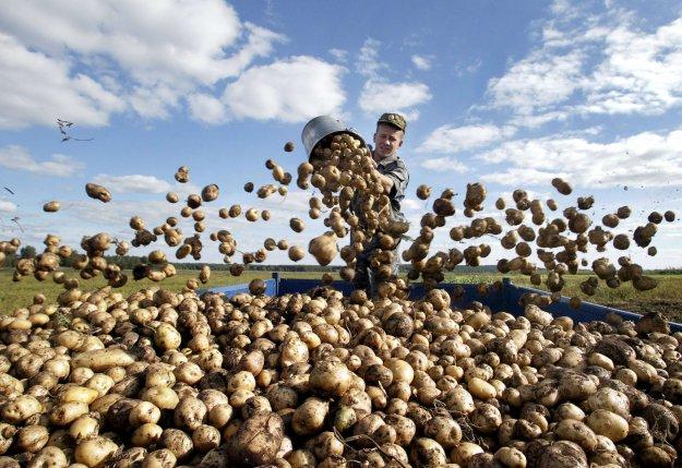 День полесской картошки