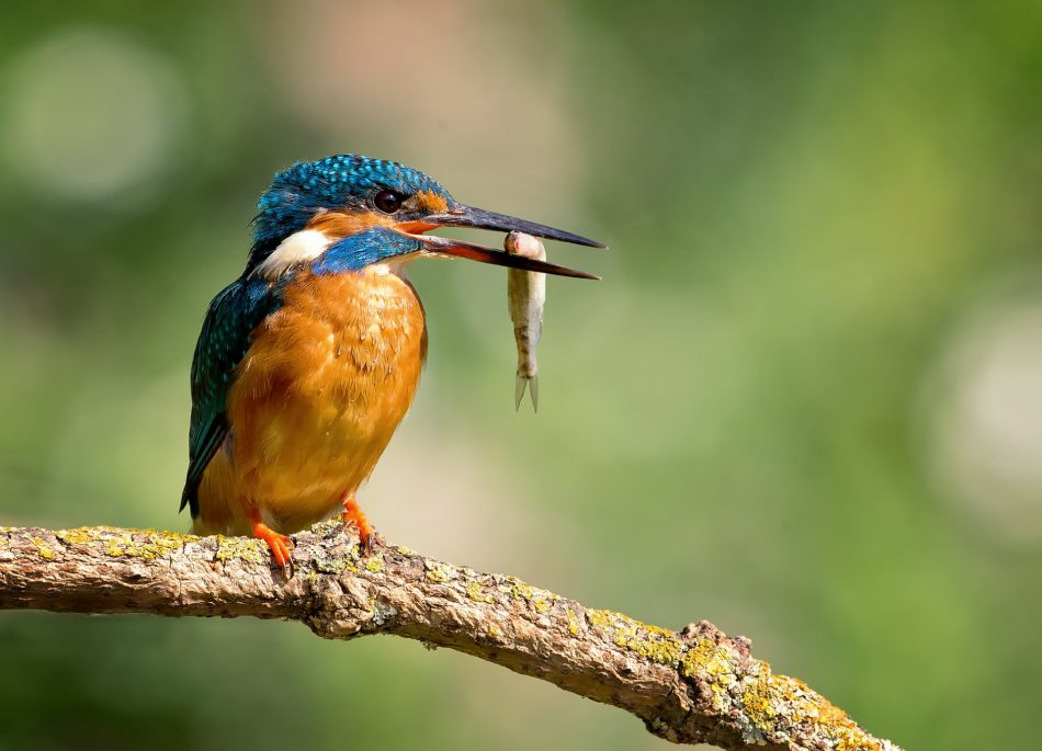 «Атлас гнездящихся птиц Калининграда»