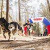 Гонка на собачьих упряжках «Янтарная шлейка»