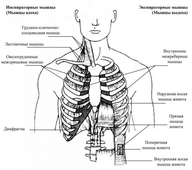 Дыхательная гимнастика Стельниковой - вводный урок