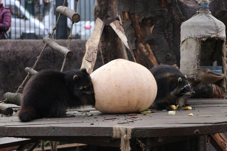 Показательные кормления животных «Тыквенный рай»